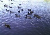 Puzzle canard sur le lac