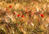Coquelicots parmis les blés