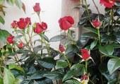 Bouons de roses rouges