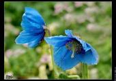Jolis fleurs bleu