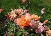 Puzzle Jolie Roses