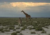 Girafe sur fond d'orage