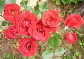 Mon jardin: roses rouges