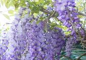 Mon jardin: glycine