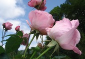 Mon jardin: roses roses