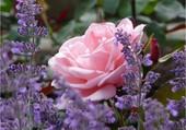 Les roses et lavande du jardin