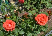 2 belles roses