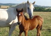 Poulain et sa maman