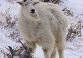 La reine des chèvres