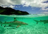 Ocean Requin
