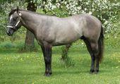 Quarter horse Grullo