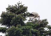 la cigogne et son nid