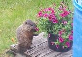 Puzzle La marmotte