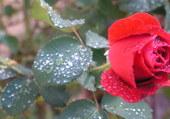 Rose aprés la pluie