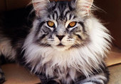 suberbe chat main coon