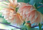 dahlias roses
