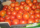 la récolte de tomates