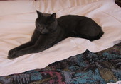 Willow le Chartreux