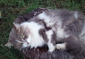 Puzzle grigri le chat de visigneux