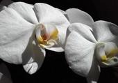 Blanche orchidée