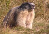 marmotte au lac du lauzanier