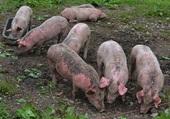 Quels cochons !