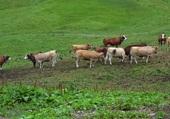 Rassemblement de vaches aux Carroz
