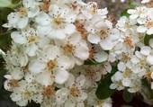 Explosion de fleurs blanches
