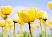 Tulipes couleur soleil