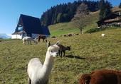 Lama suisse