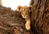 petit lion coincer