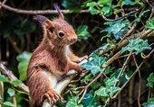 Écureuil sur sa branche