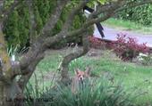 Puzzle La pie et le renard
