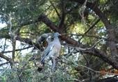 palombe dans un pin