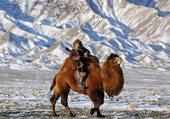 Chameau - Désert de Gobi, Mongolie