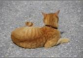 Puzzle Le petit chat roux