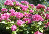 le plus bel hortensia du jardin