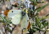 Puzzle papillon sur romarin