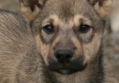 Schlittenhund Alaska
