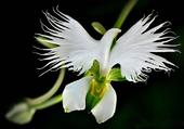 Orchidée aigrette blanche
