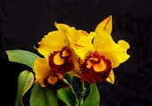 Puzzle orchirée jaune