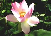 La beauté du Lotus
