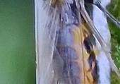 La Cicadelle parasite de la Lavande