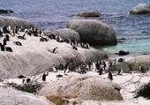 Colonie de pingouins