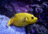 poisson de la rochelle