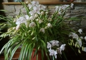 Puzzle orchidée du TIBET