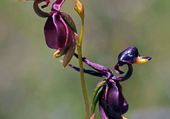 Orchidée canard - Caleana major