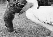 Puzzle L'ourson et le pélican