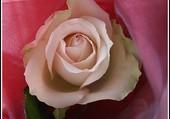 Puzzle En rose