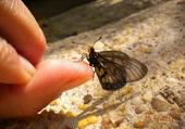 papillon sur le pousse